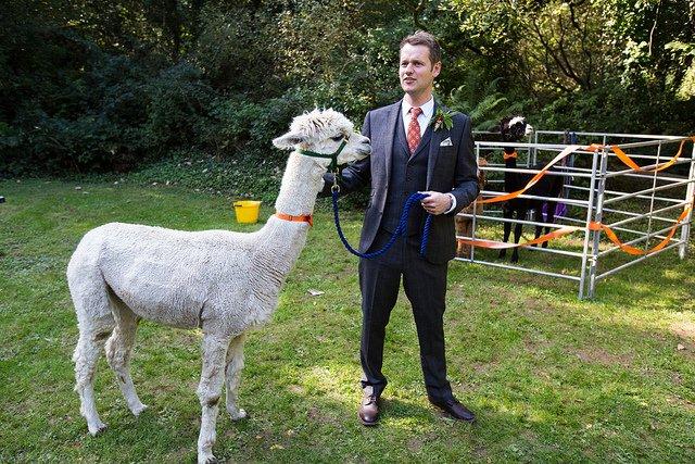 Ben Enright_Wedding Alpaca